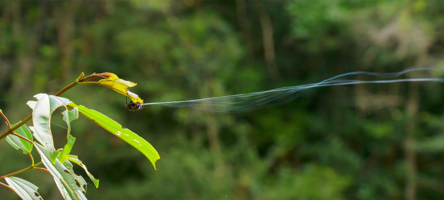 """Этот миниатюрный паук способен """"стрелять"""" паутиной на 25 метров"""