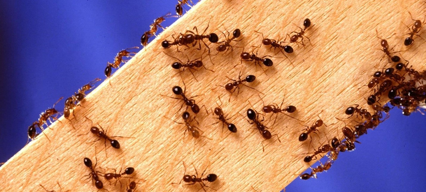 На юге США муравьи захватывают PC и другую электронику