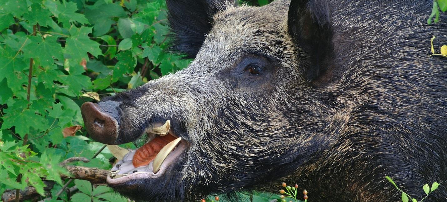 Исследование Дикие свиньи загрязняют атмосферу сильнее, чем миллион автомобилей