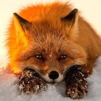 winter_fox