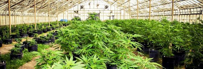 Штаты Америки голосуют за декриминализацию марихуаны
