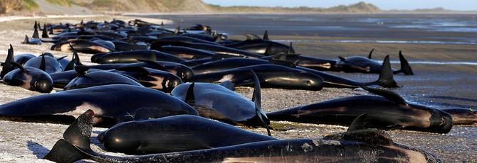 145 чёрных дельфинов выбросились на пляж в Новой Зеландии