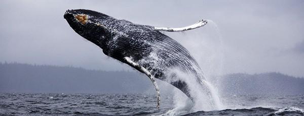 Sunday Science: что будет, если вас проглотит кит?