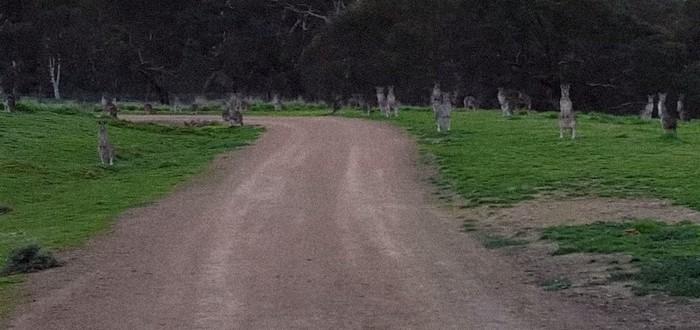 Зомби-кенгуру