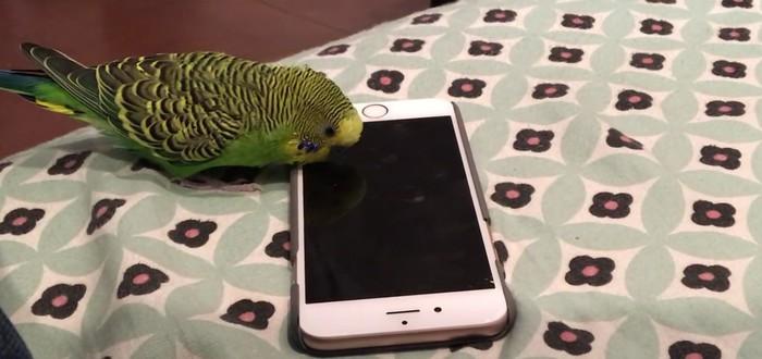Попугай вызывает Siri