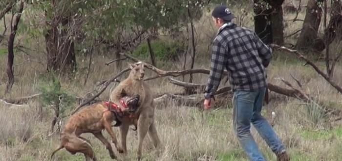 Почему этот австралиец набил морду кенгуру