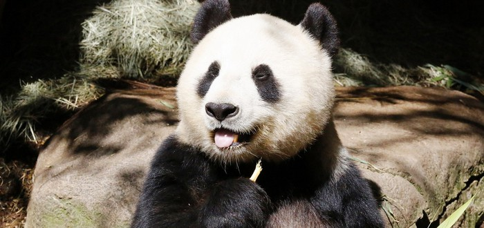 В Китае обнаружили первую в мире панду-альбиноса