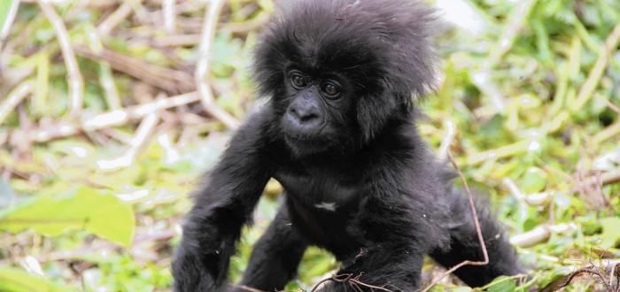 Канал BBC подселил робота-гориллу к живым собратьям
