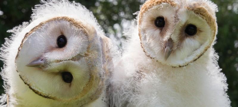 Очаровательное видео о том, как совята учатся летать