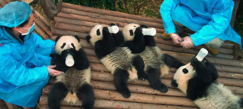 Первый трейлер документального фильма Pandas от IMAX о взрослении панды в дикой среде