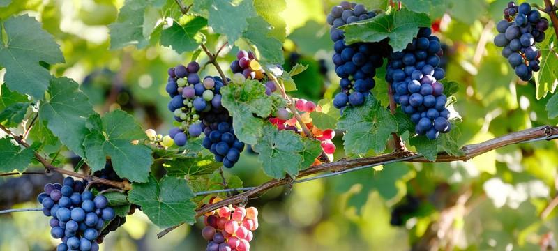 Изменение климата ставит под угрозу 85% виноградных регионов мира