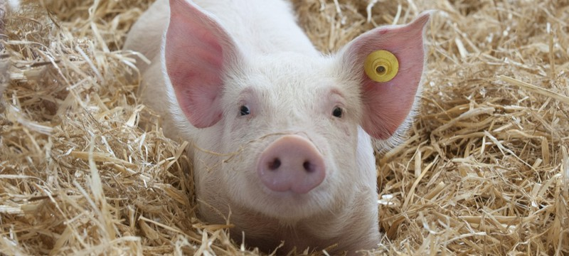 Ученые научили свиней играть в видеоигры